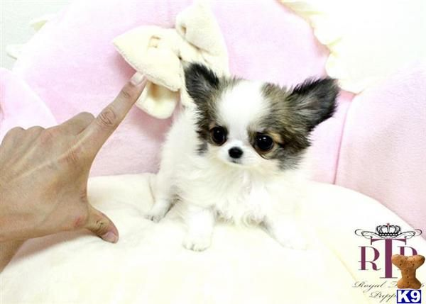 Royalteacuppuppies Picture 2 Chihuahua Puppies Puppies For Sale