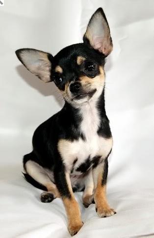 Chihuahua Breeders Blueboy Chihuahuas Http Blueboychihuahuas Com Chihuahua Love