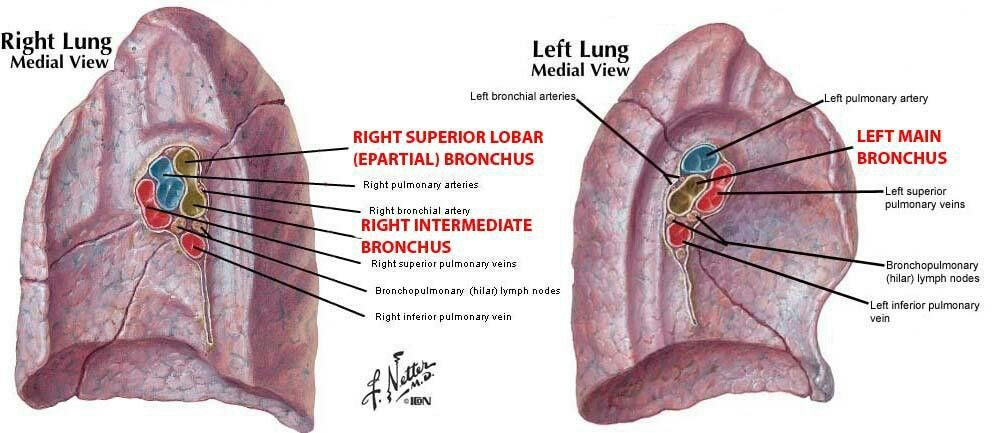 Hilum of Lungs | ANATOMY | Pinterest | Lungs