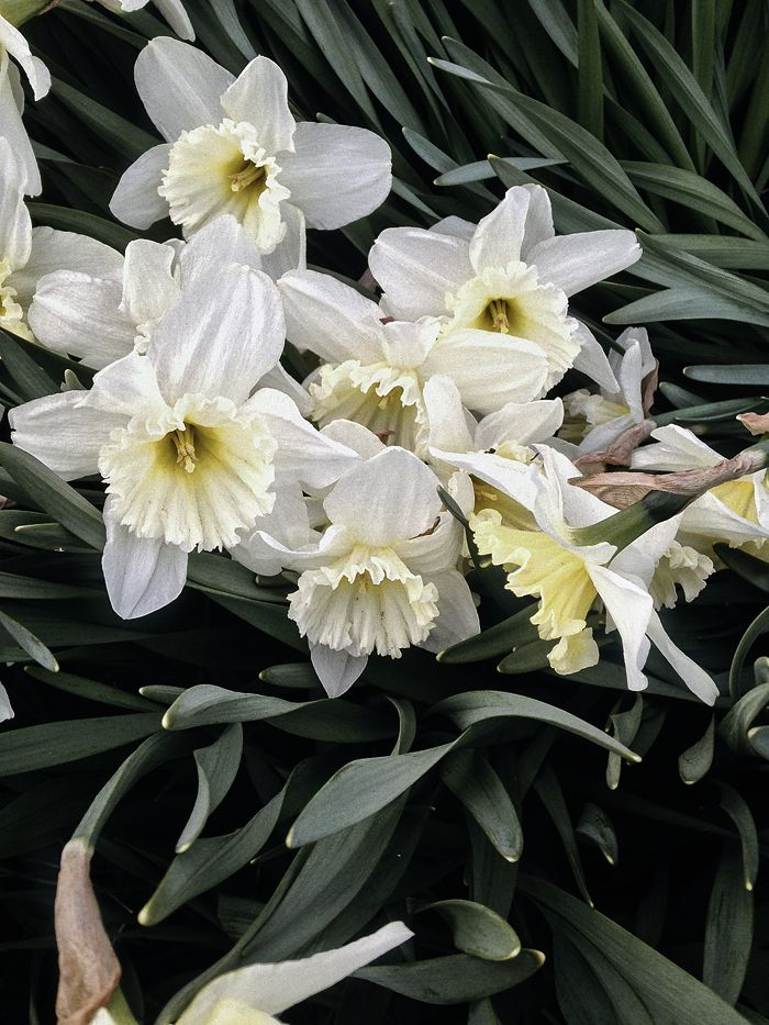Takes from the flower diary: daffodils