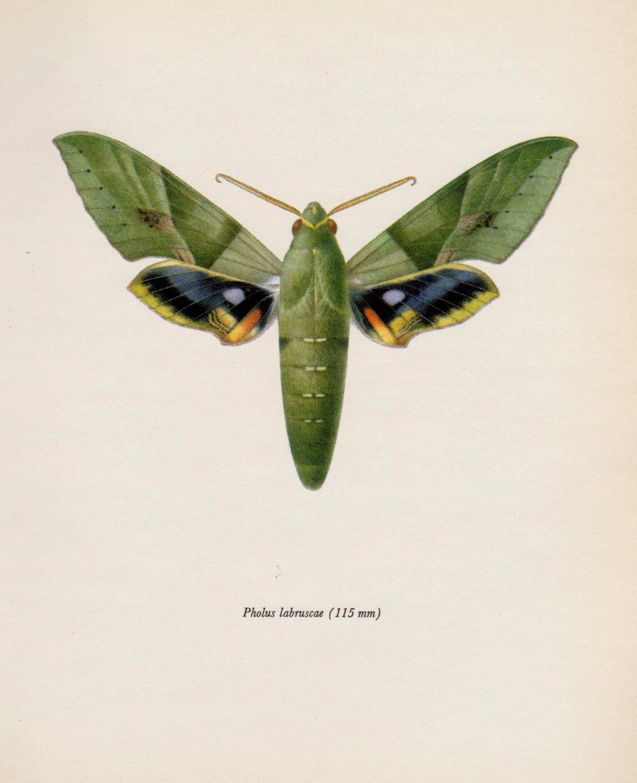 Vintage Moth Print Gaudy Sphinx Moth Art Gallery Wall Art Home Decor Natural History Print Plaindealing 1175 Moth Art Print Moth Print Vintage Moth Prints