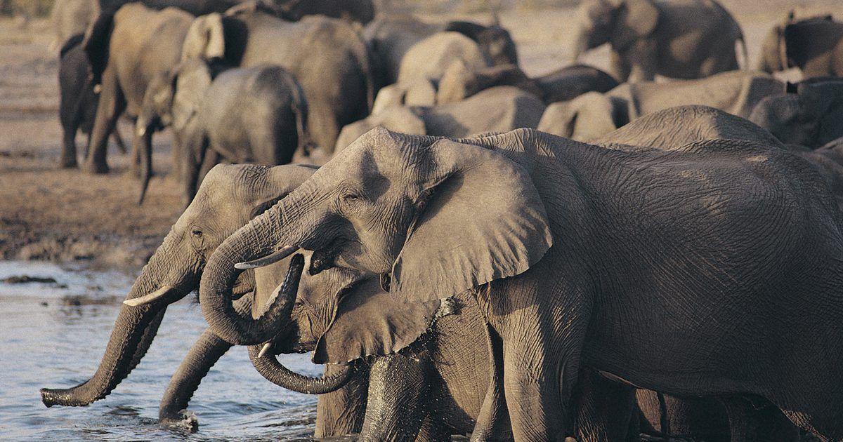 Anatomia interna do elefante africano | Elefante africano, Elefantes ...