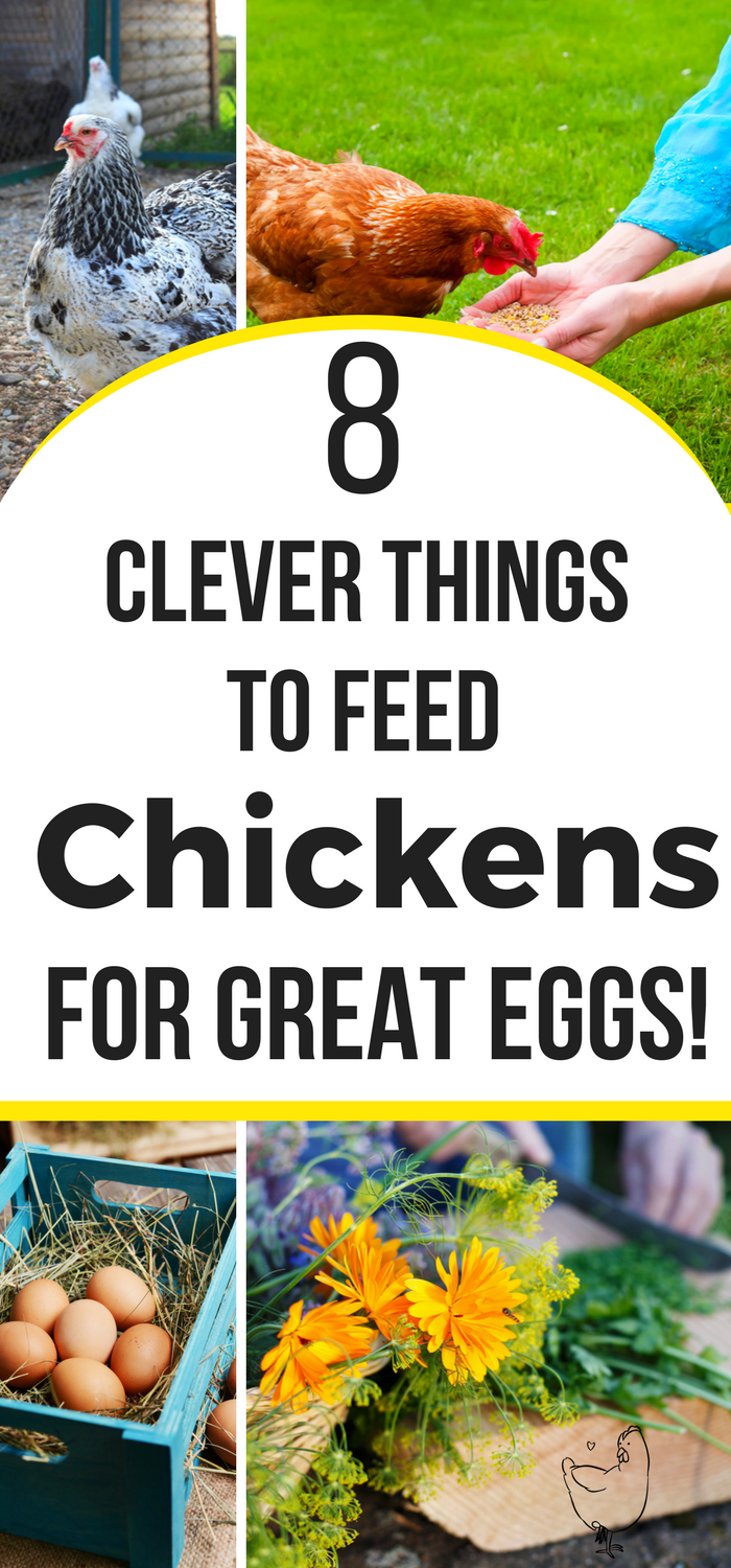 what to feed your chickens for better tasting eggs backyard