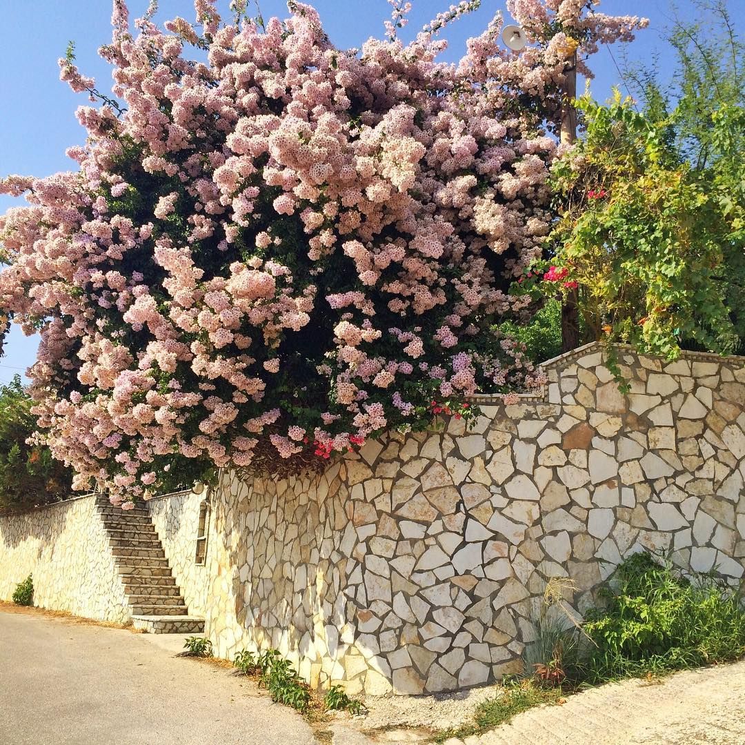 in full pink bloom  #perfect #greece