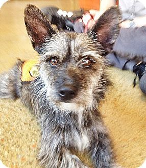 New York Ny Cairn Terrier Dachshund Mix Meet Cecilia A Dog