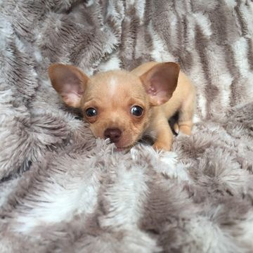Chihuahua Puppy For Sale In Houston Tx Adn 24291 On Puppyfinder