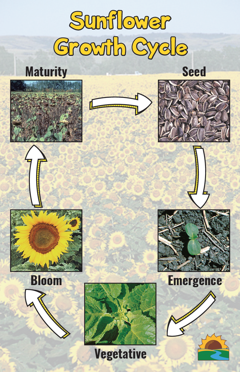 Sunflower Growth Stages Planting Sunflowers Sunflower Specialty Crops