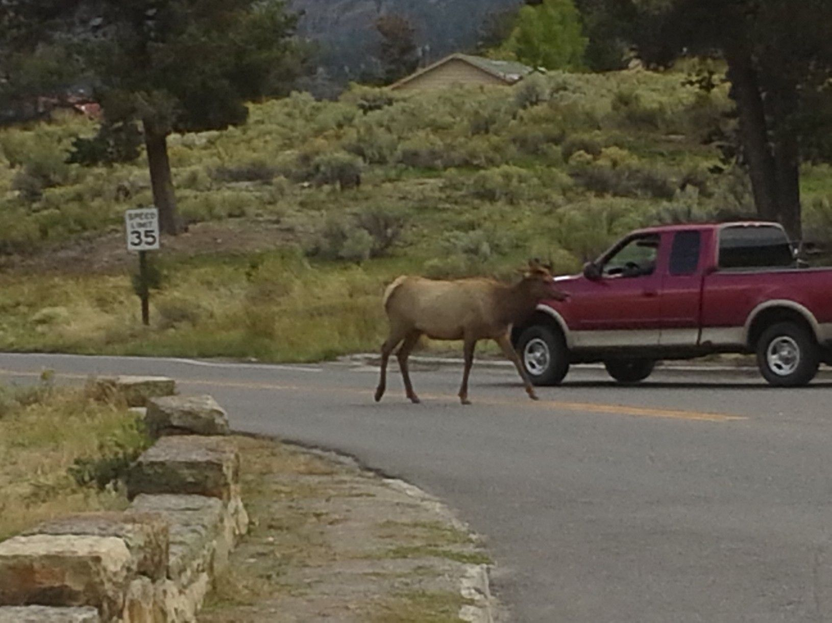 Yellowstone National Park Elk Jaywalking Near The Mammoth Hot Cool Mammoth Hot Springs Hotel Dining Room Design Inspiration