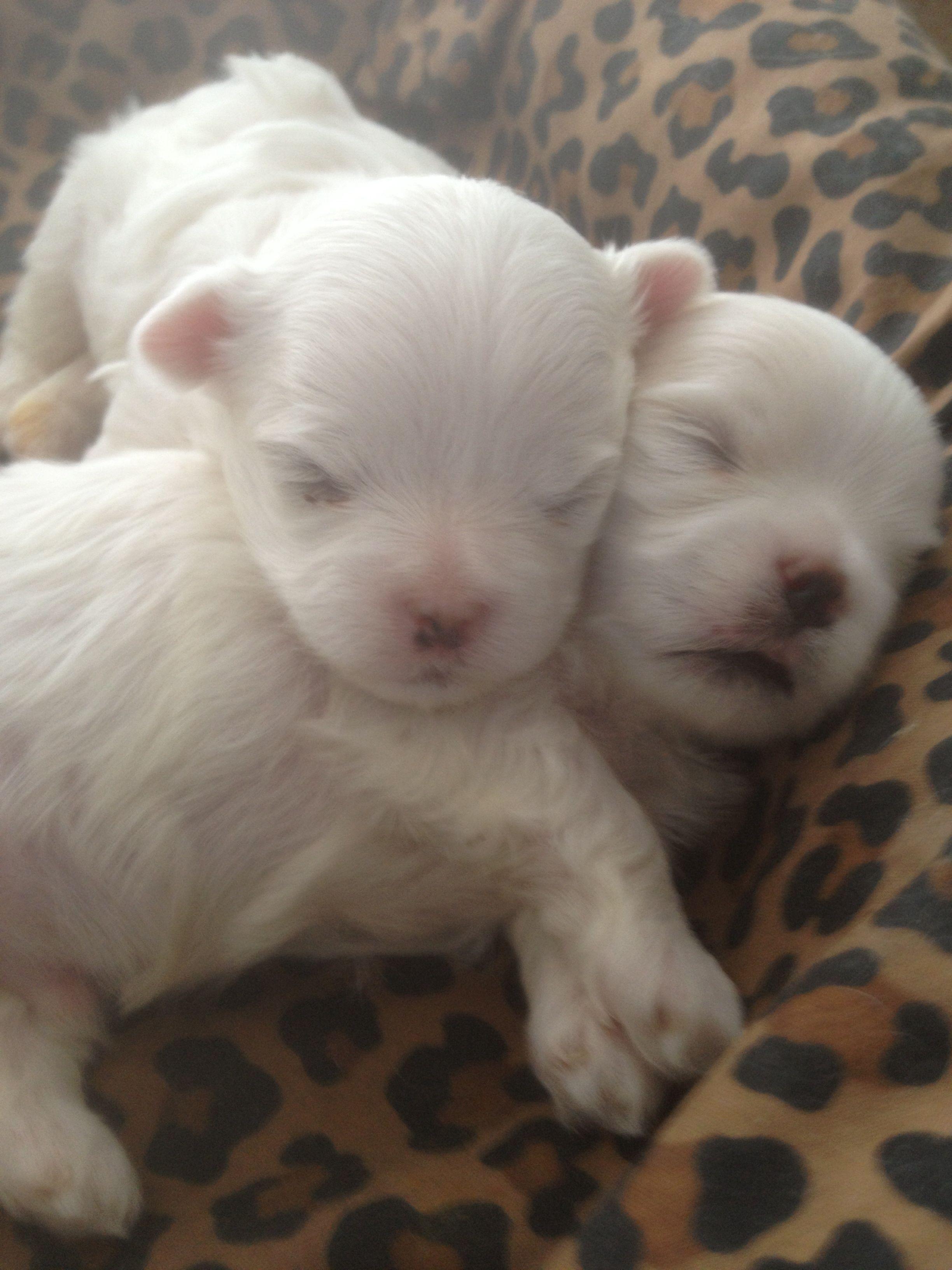Maltese Puppies Maltese Maltese Dogs Maltese Puppy Puppies