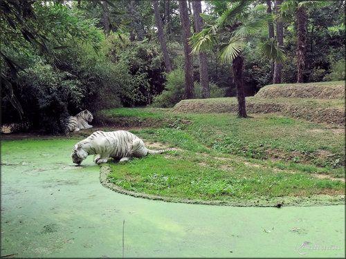 ades et rewa les tigres blancs du zoo de la fl che f lins cats like pinterest le tigre. Black Bedroom Furniture Sets. Home Design Ideas