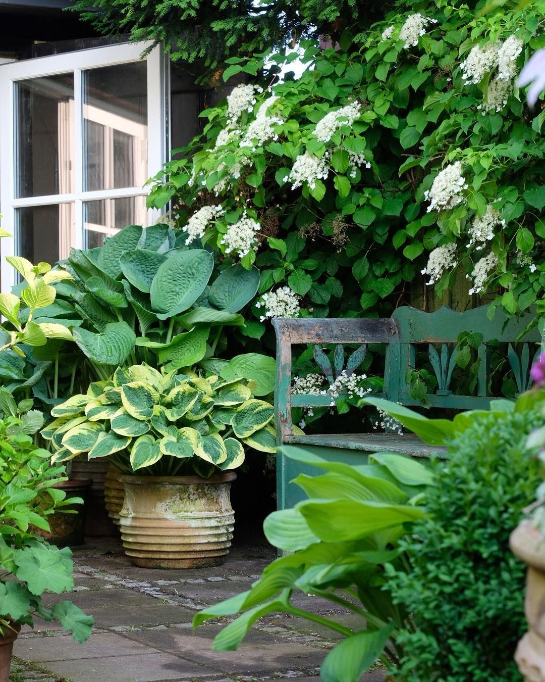 Climbing hydrangeas and potted hostas 💚outside door is part of Hosta gardens -