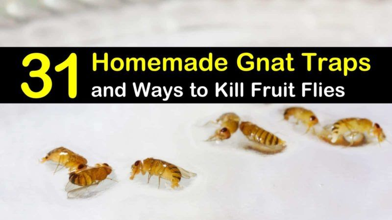 31 Homemade Gnat Traps And Ways To Kill Fruit Flies In 2020 Homemade Gnat Trap Gnat Traps Fruit Flies
