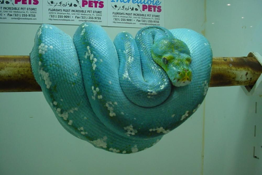 Rare Blue Phase Green Tree Python Pet Snake Reptiles Pet