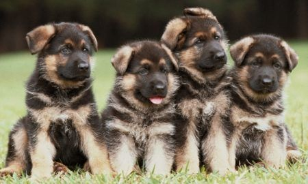 Pin By Sofia Svensson On Dogs German Shepherd Puppies Cute