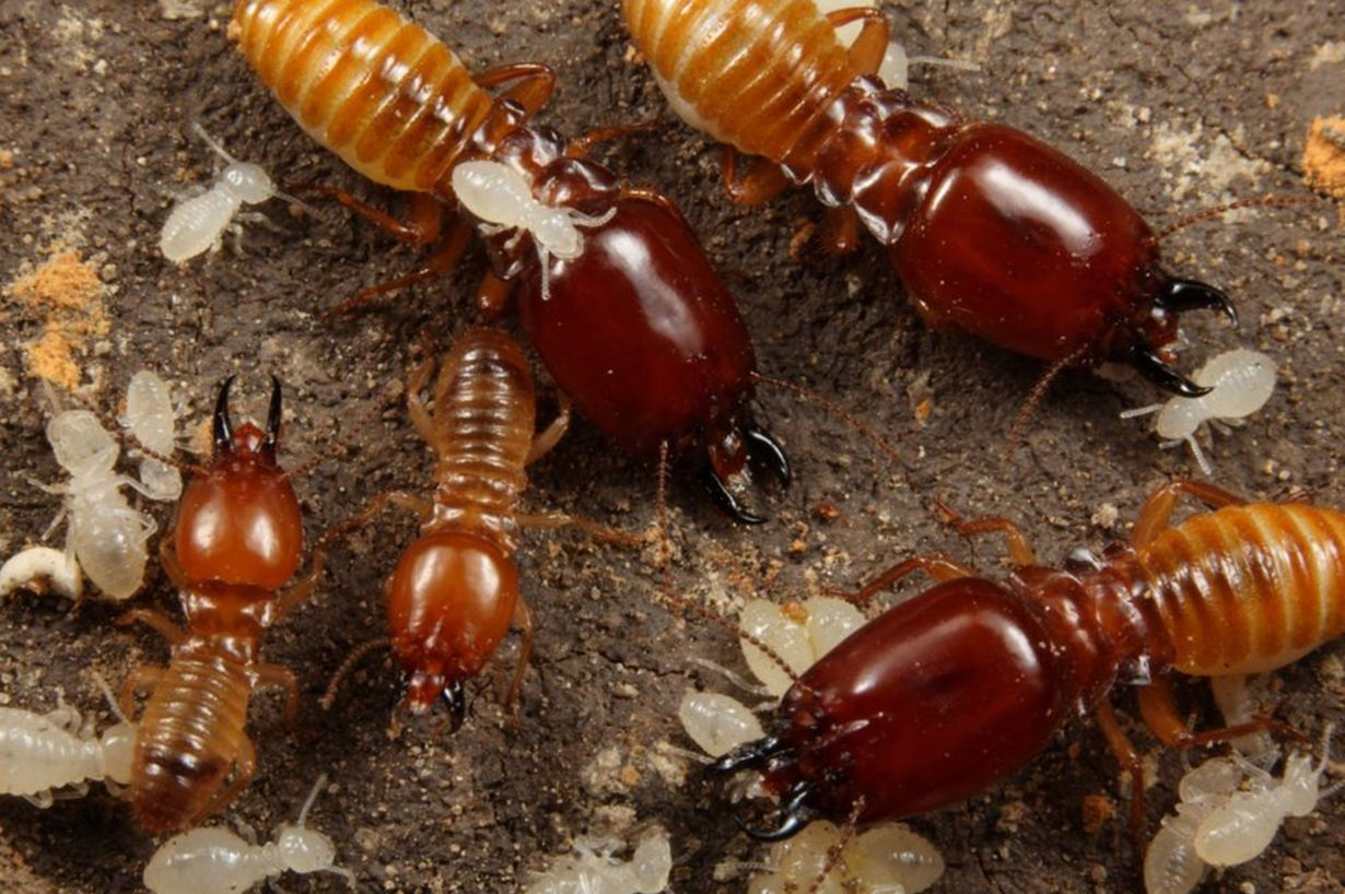 termites are eusocial insects that are classified at the taxonomic rank of infraorder isoptera or as epi family termitidae within the cockroach order