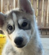 Puppies For Sale California Siberian Husky Breeders Siberian