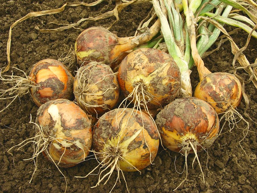 To Grow Good Bulb Onions You Need To Know About How Day Length And