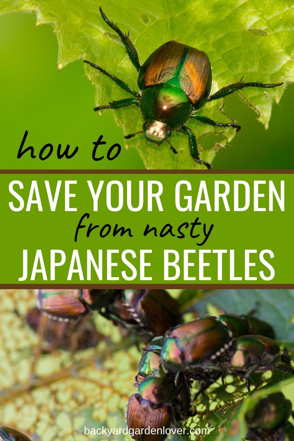 How To Get Rid Of Japanese Beetles And Save Your Garden Japanese Beetles Backyard Landscaping Designs Small Garden Design