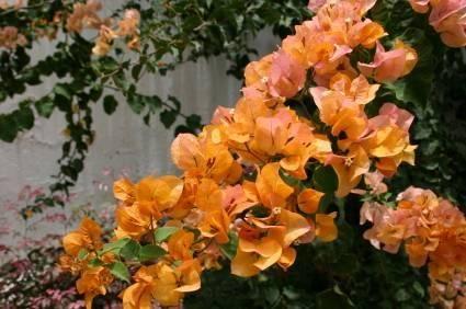 Bengal orange bougainvillea