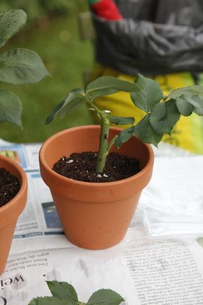 rosen durch stecklinge vermehren pinterest g rten pflanzen und stecklinge. Black Bedroom Furniture Sets. Home Design Ideas