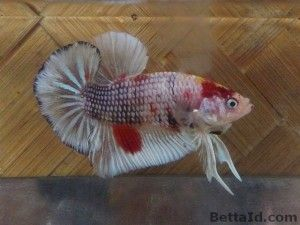 Ikan Cupang Plakat Marble PK2 (Dengan gambar) | Ikan ...