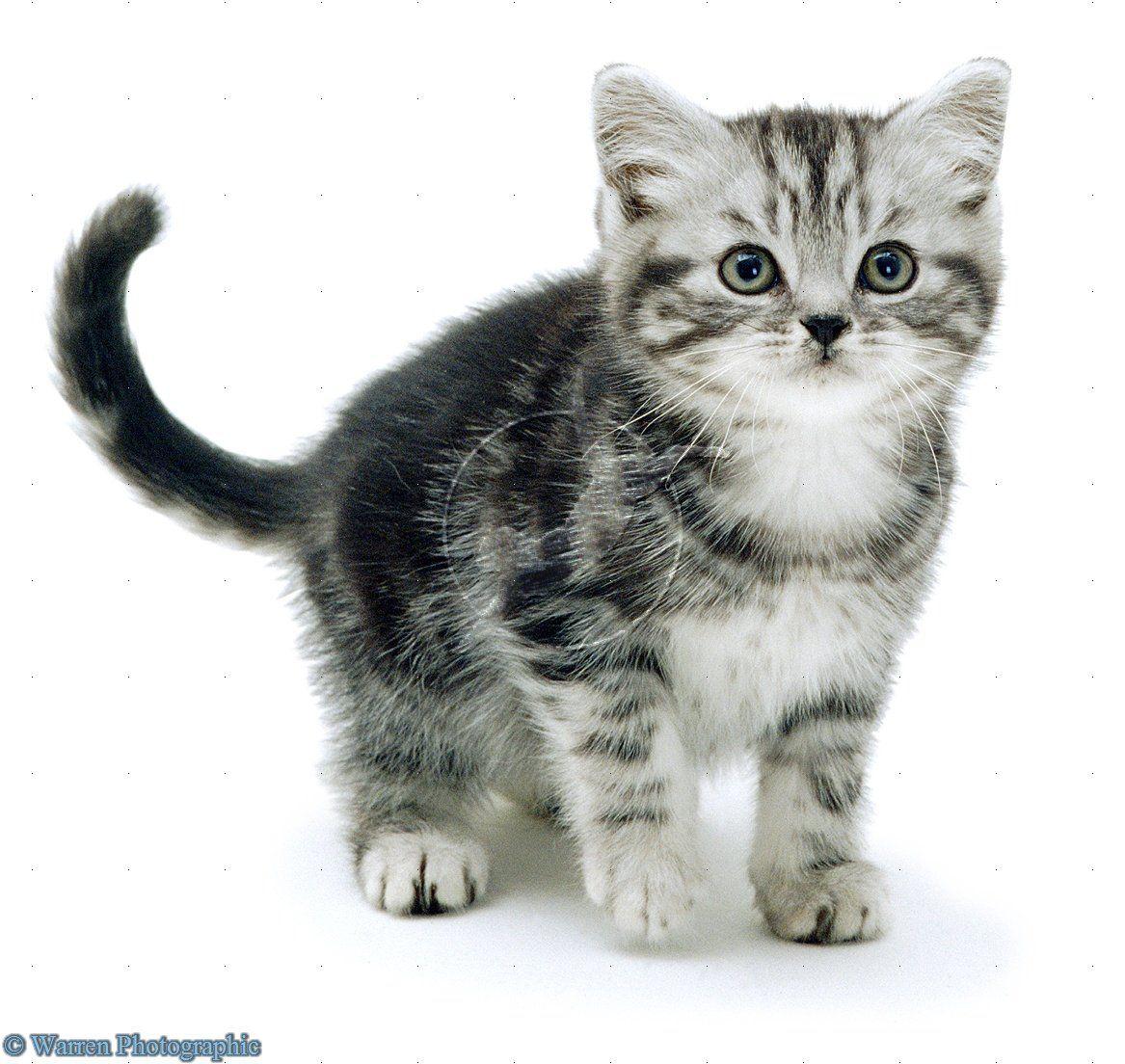 Silver Tabby Kitten Silver Tabby Kitten Tabby Kitten American
