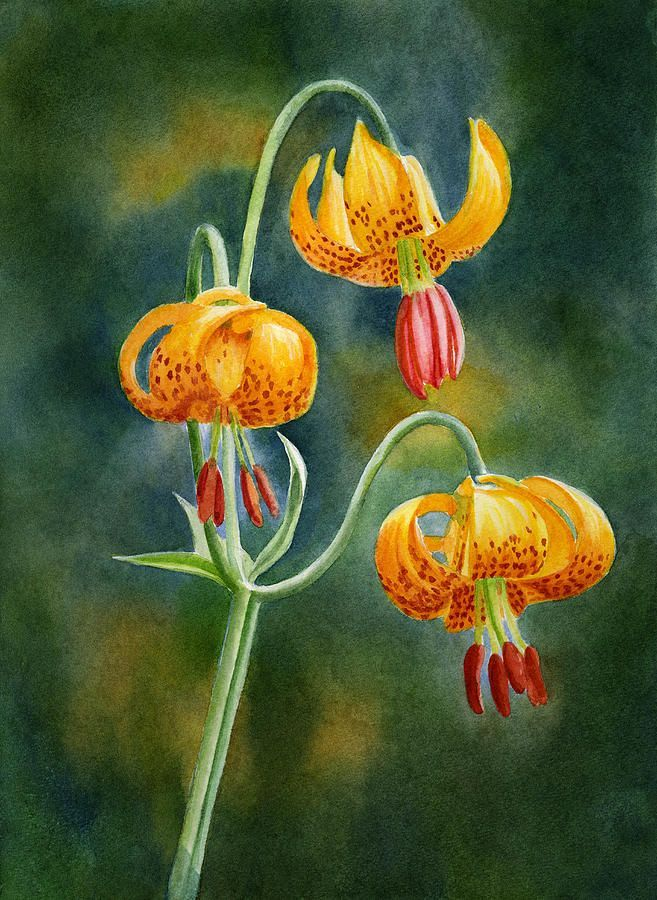 Water Color paintings of Tiger Lilies - AOL Image Search Results
