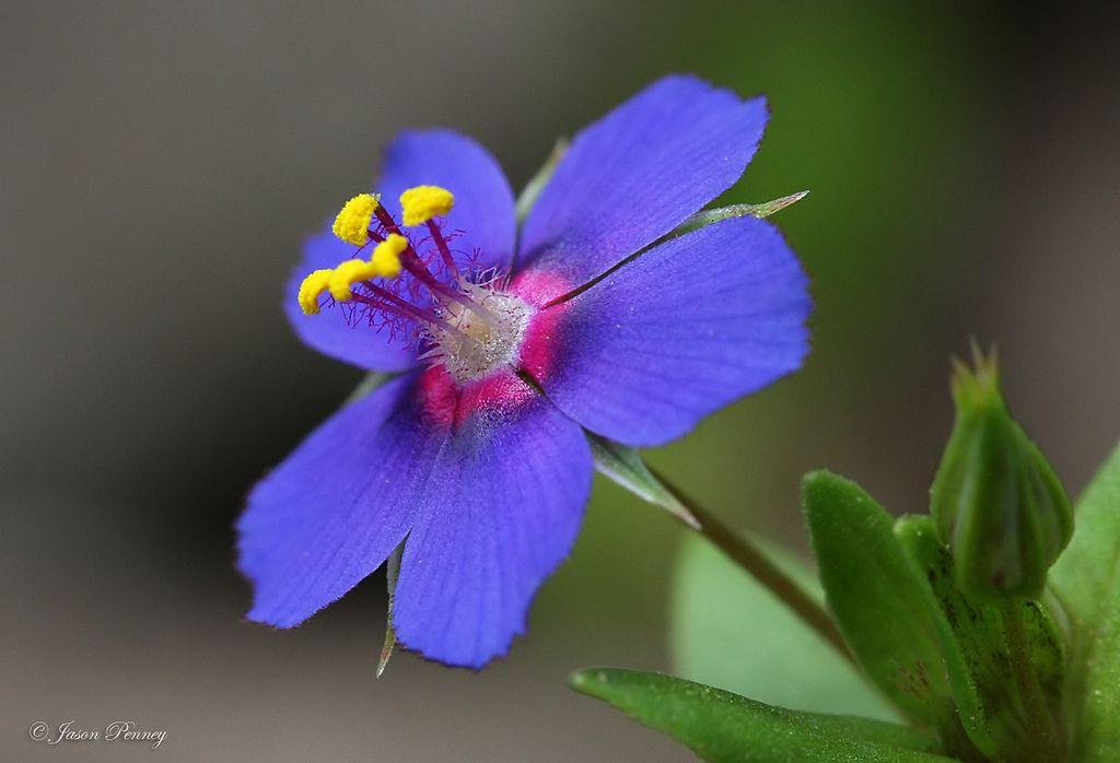 Scarlet Pimpernel Anagallis Arvensis Pretty Flowers Flowers Purple Flowers