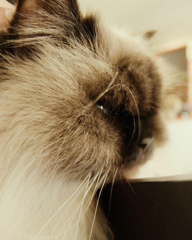 顔の中の瞳、トッポ #ねこカフェなる #猫カフェなる #長野県長野市 #猫カフェ #naganojapan #catcafe #nekocafenaru #nekocafe #neko #catscafe #catstagram #cats_of_instagram #catstuff #cat #cats #ねこカフェ #ネコカフェ #トッポ #ヒマラヤン