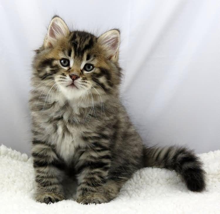 время хаоса котята сибирской кошки фото этом случае