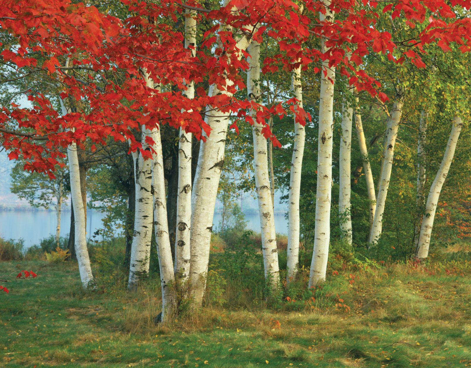 birch trees in fall - Google Search | Painting Templates/ ideas ...