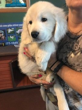 Golden Retriever Puppy For Sale In Northwood Oh Adn 65164 On