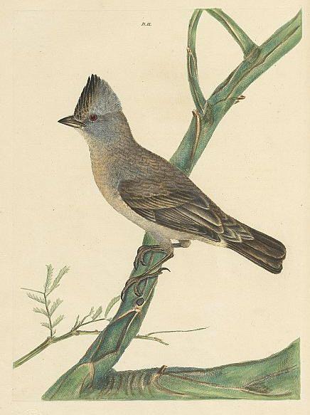 Crested Thrush - Turdus cristatus | Australian Native Birds