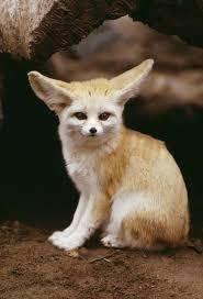 Fennec Fox Google Penelusuran Binatang Lucu Hewan Binatang
