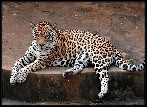 Amazing Animals Whose Names Start With The Letter J Animals Wild Cats Animal Pictures