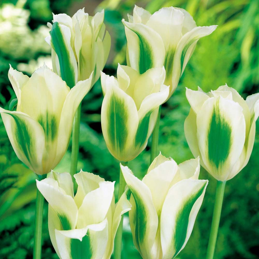 Tulipa green spring cottage gardens pinterest tulip bulbs tulip spring green tulip bulbs the vernon nursery dhlflorist Image collections