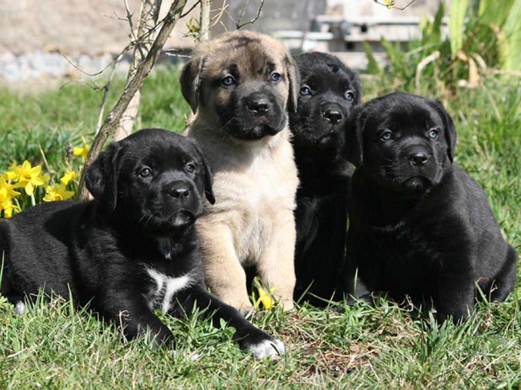 Cane Corso Puppies Wallpaper Cane Corso Cane Corso Puppies Puppy Wallpaper