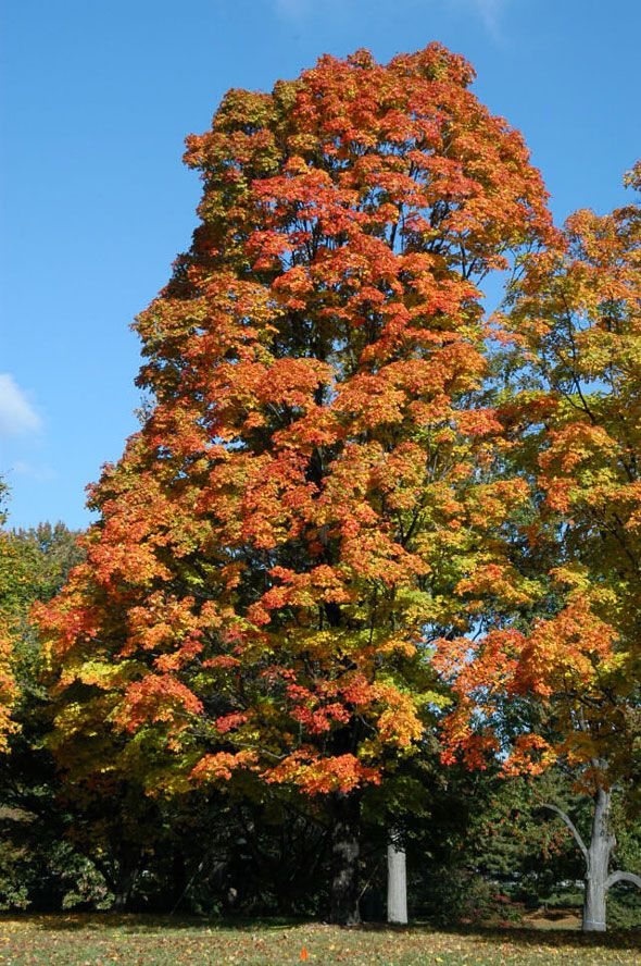 133ab37c542 Greencolumn Black maple is a better urban and suburban tree than its more  famous cousin the sugar maple.