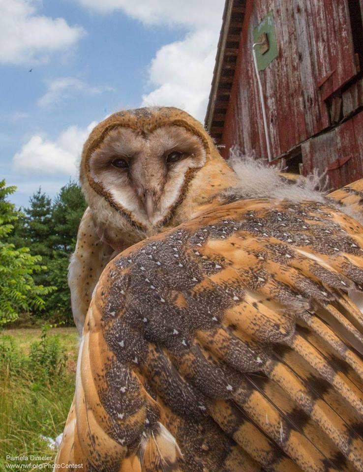 texture - barn owl feathers