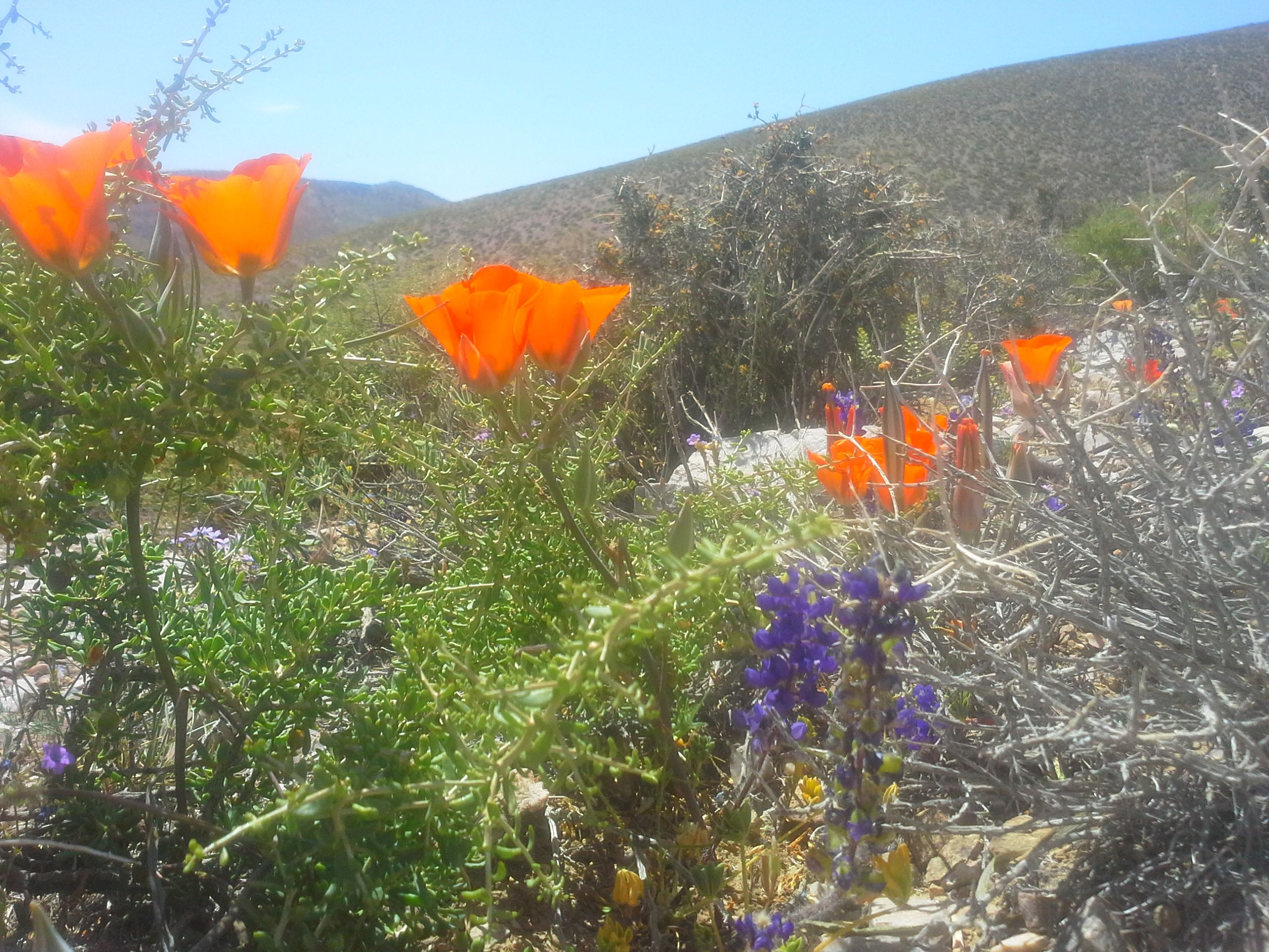 Death Valley Bloom Flowers Near Furnace Creek Resort Death Valley