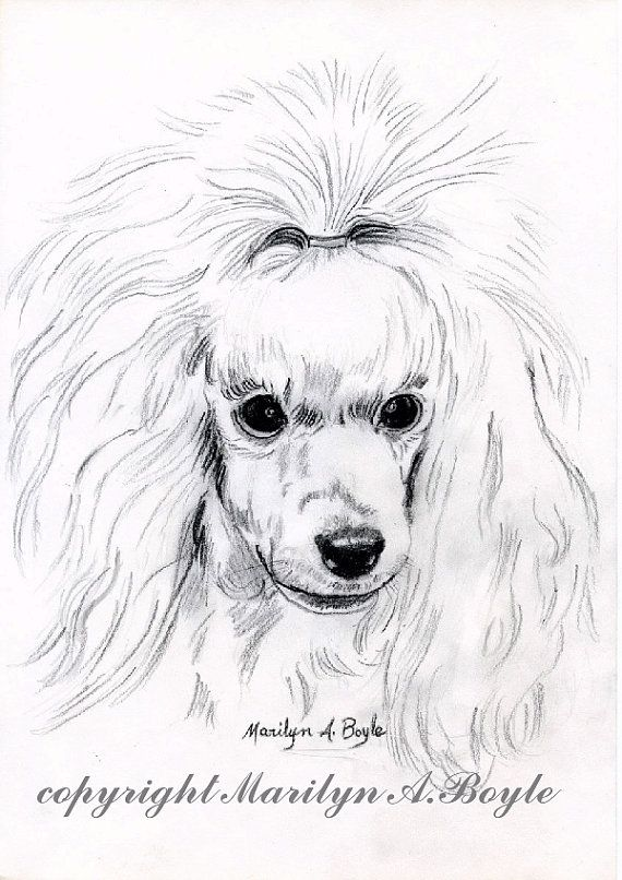 Print Drawing Poodleart Pencil Drawing Miniature Poodle White