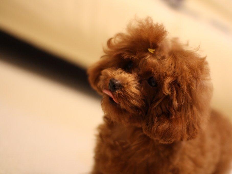 #プードル #トイプードル #ふわもこ部 #犬バカ部 #トリミングサロン #ドッグサロン #ペットサロン #子犬 #仔犬 #犬 #ペット #トリマー #toypoodle #poodle #poodlesofinstagram #poodlelove #instadog #dog #dogs #pet #pets #🐩 #puppy #dogstagram #groomer #dogsalon #doggrooming #doggroomer #isoladog