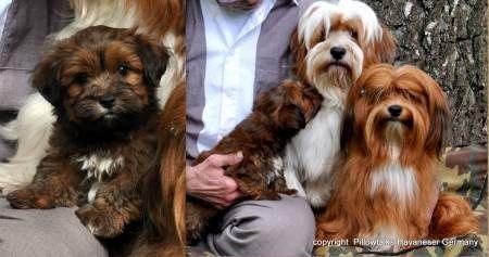Havanais 005 Havanese Havanese Dogs Puppies And Kitties