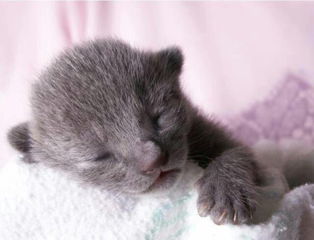 Few Hours Old Russian Blue Kitten Kittens Cutest Russian Blue