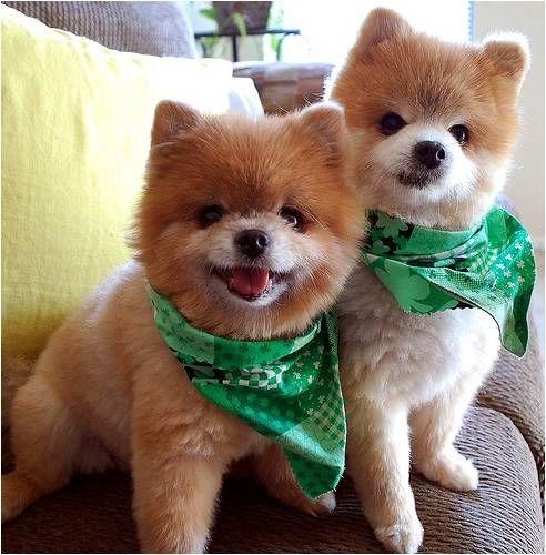 Verde Y Treboles Para Celebrar El Dia De San Patricio Animals Cute Animals Cute Dogs