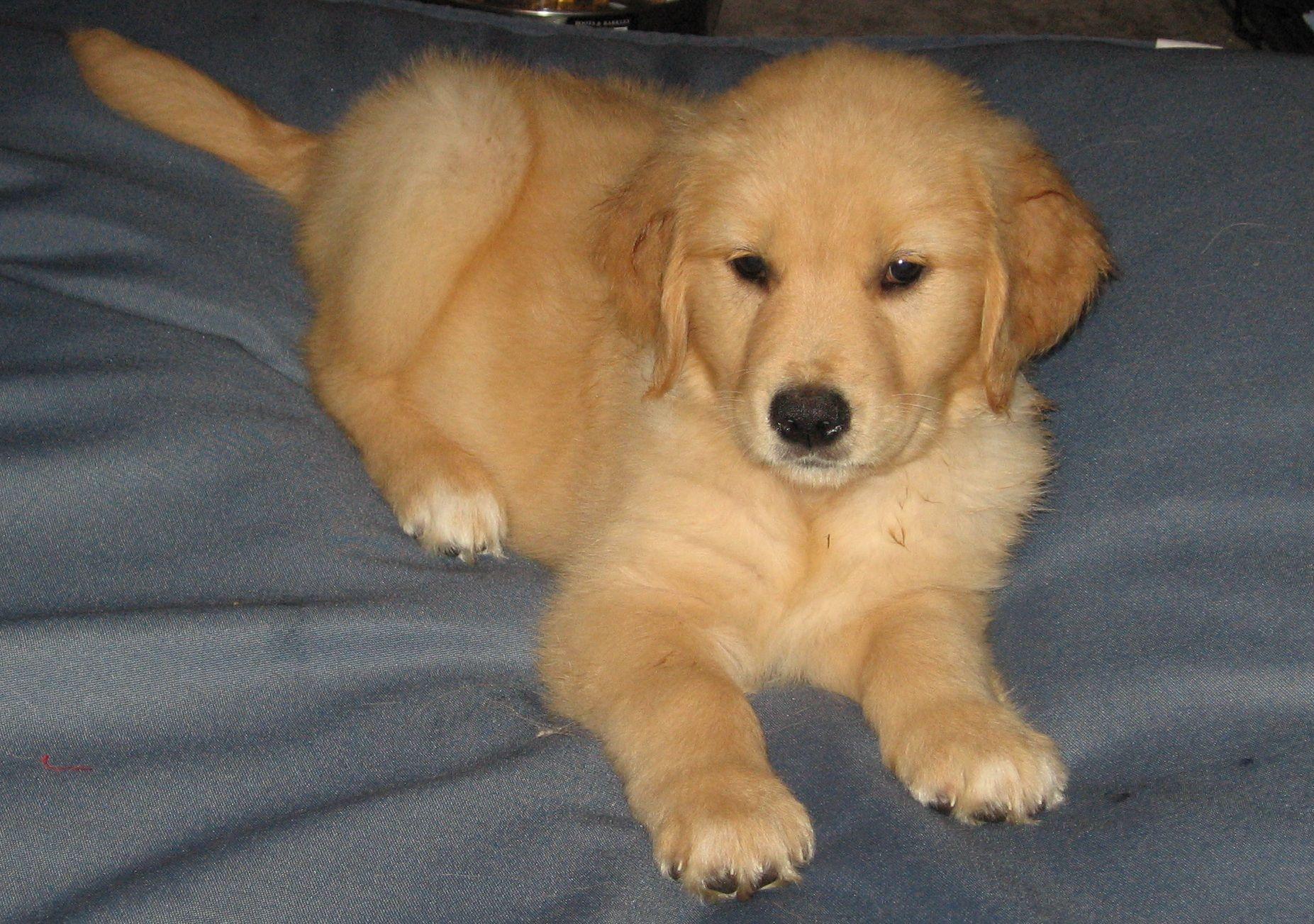 Newborn Golden Retriever Puppies Pembroke welsh