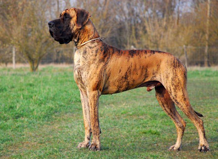 Deutsche Doggen Bilder Deutscher Doggen Club 1888 E V Www Doggen De Perros Gran Danes Perros Gran Danes