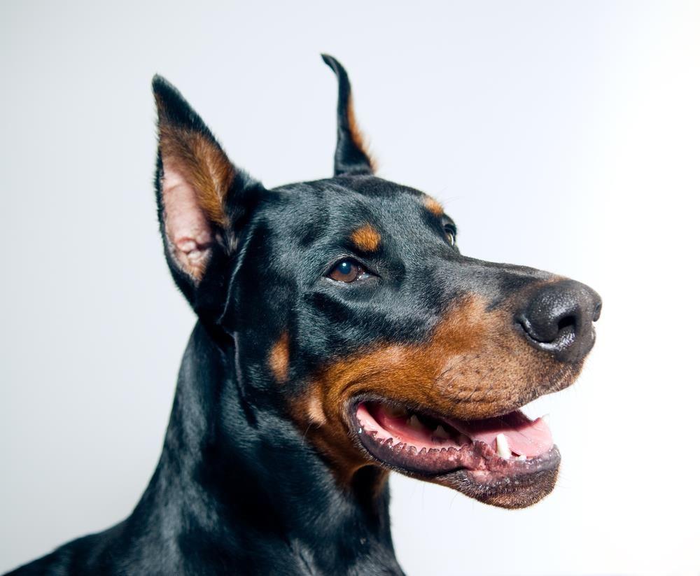 The Doberman Pinscher Akita Dog Accessories Online Store Find