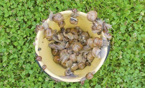 cómo eliminar babosas y caracoles del jardín | eliminar, jardín y