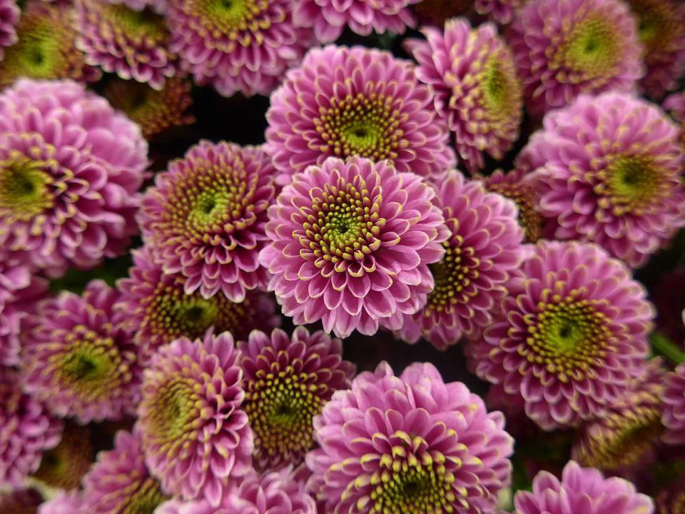 November S Birthflower The Cheerful Chrysanthemum Order Flowers Online Chrysanthemum Tea